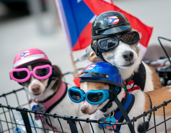 Dogs wear helmets and goggles.