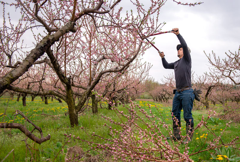 H2-A worker Humberto González, 26, of Michoacan, Mexico trims a peach tree on Kalir Enterprises farm May 10 in Brockport.