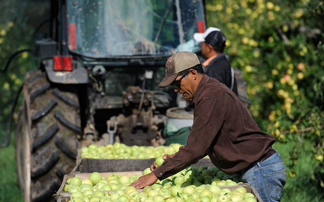 Migrant farmworkers pick apples on a farm in Brockport in 2013. The Diocese of Rochester's Department of Pastoral Services is sponsoring a drive-thru food and supply collection June 13 to assist migrant farmworkers in need. (File photo)