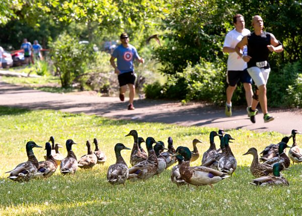 Runners pass by a flock of ducks during the race in Seneca Park.